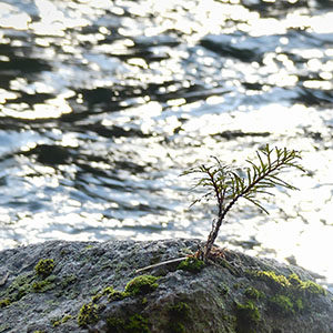 A very young conifer tree growing in the crack of a rock, at the edge of a creek