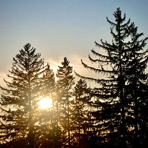 The early morning peaking through the tall spruce trees
