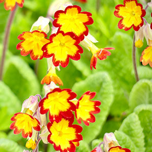 Pretty spring flowers - bright yellow with red edging.